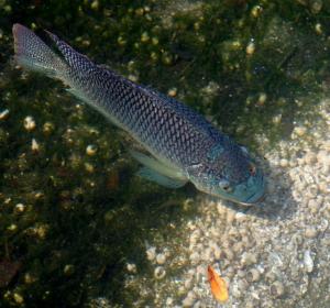 Blue-Tilapia2-1