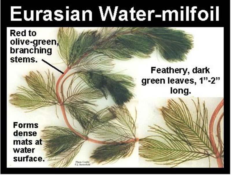 Identifying Aquatic Weeds Amp Algae