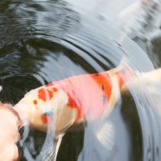 Koi Grower