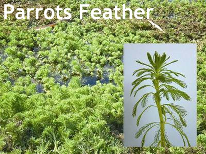 parrots feather