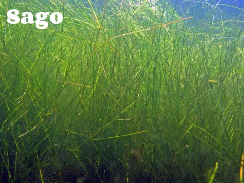 aquatic weeds