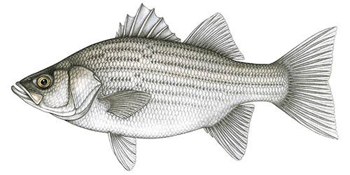 Hybrid Striped Bass
